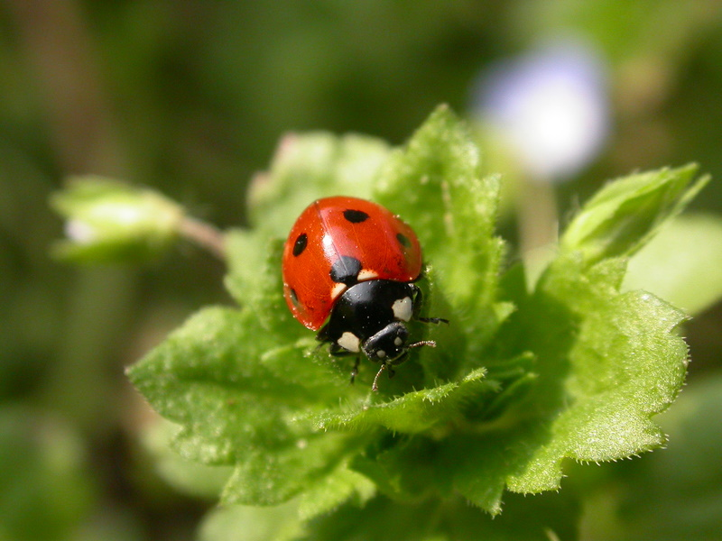 7-spot ladybird, Coccinella septempunctata – common across Europe